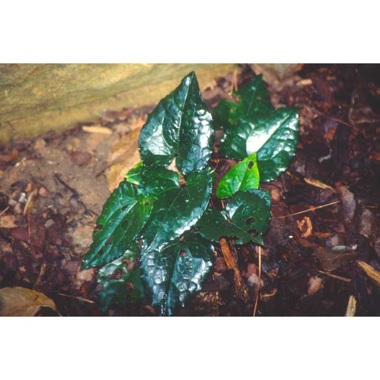 Asarum campaniflorum - kiwi wild-ginger