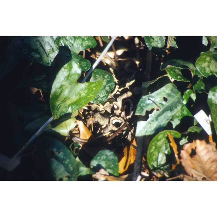 Asarum splendens - Chinese wild ginger
