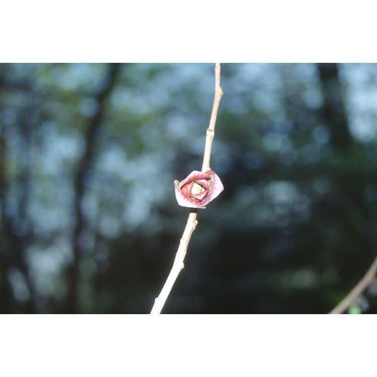 Asimina triloba - pawpaw