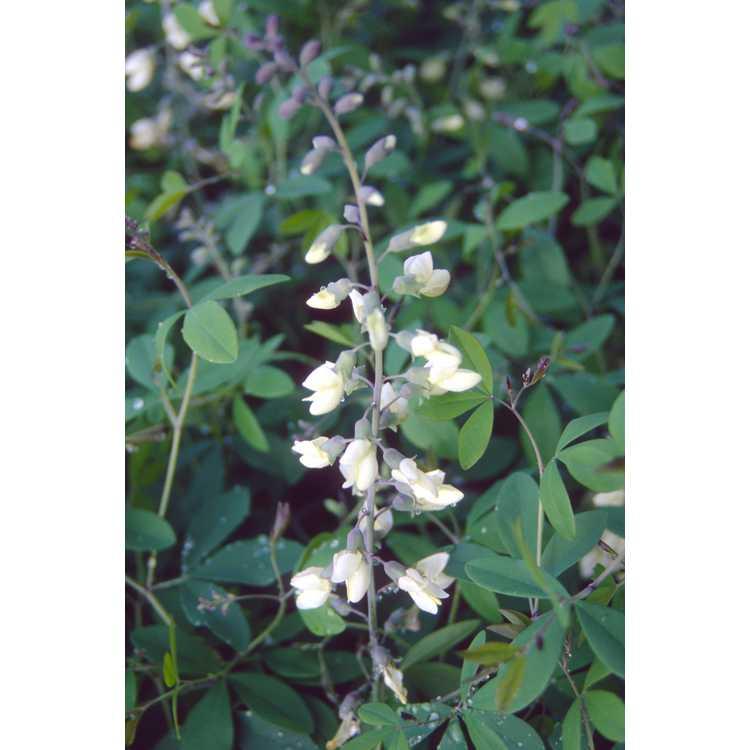 Baptisia megacarpa - Apalachicola wild-indigo