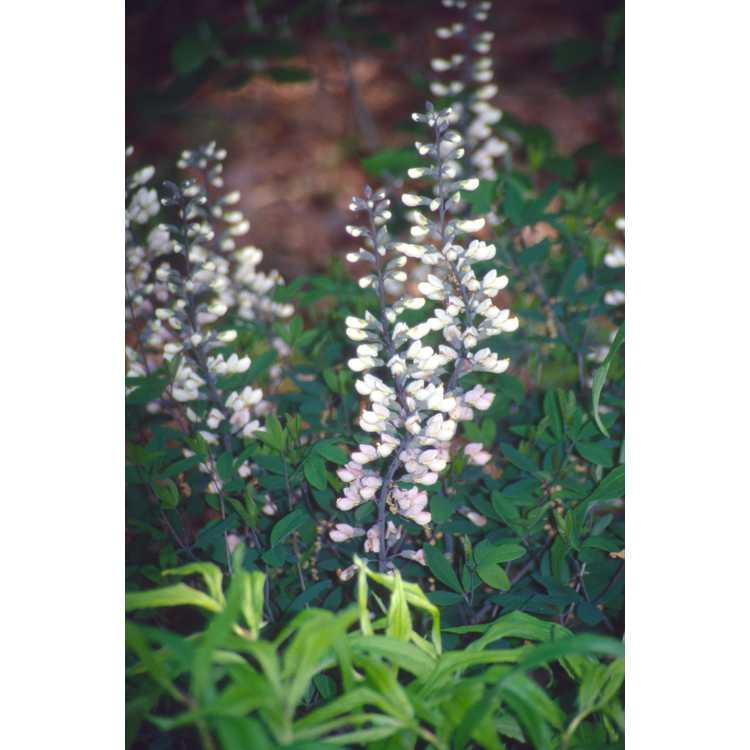 Baptisia alba var. alba Pendula Group - white wild-indigo