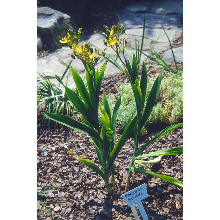 Iris domestica 'Hello Yellow' - yellow blackberry lily