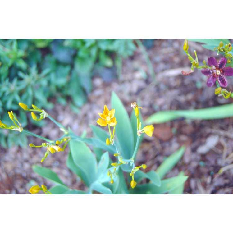 Belamcanda chinensis 'Hello Yellow'