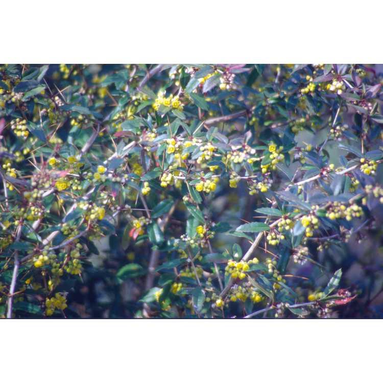 Berberis ×gladwynensis 'William Penn' - Gladwyne barberry