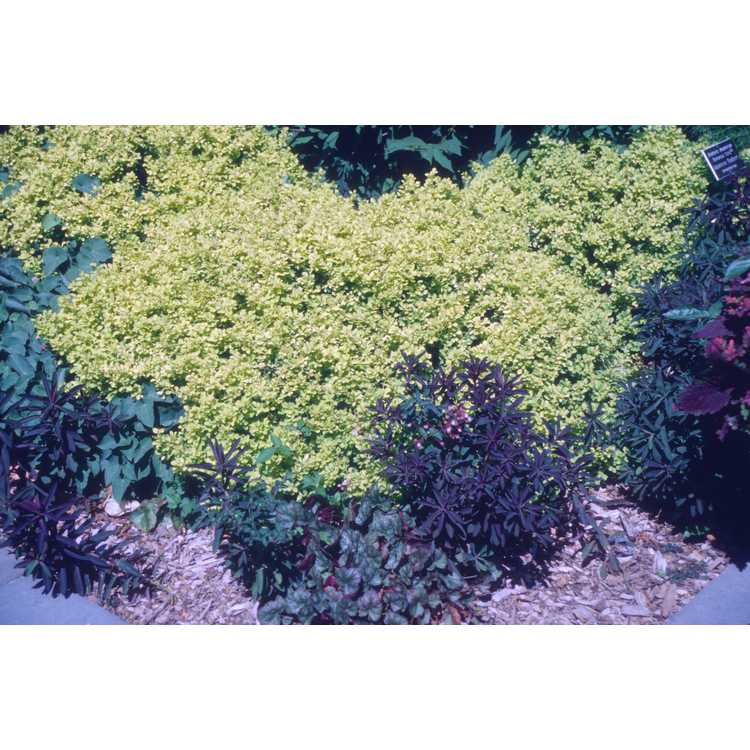 Berberis thunbergii 'Bogozam' - Bonanza Gold golden Japanese barberry