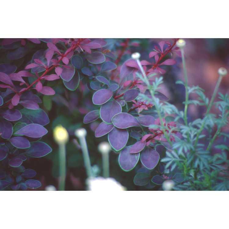 Berberis thunbergii var. atropurpurea 'Golden Ring' - purple-leaf Japanese barberry