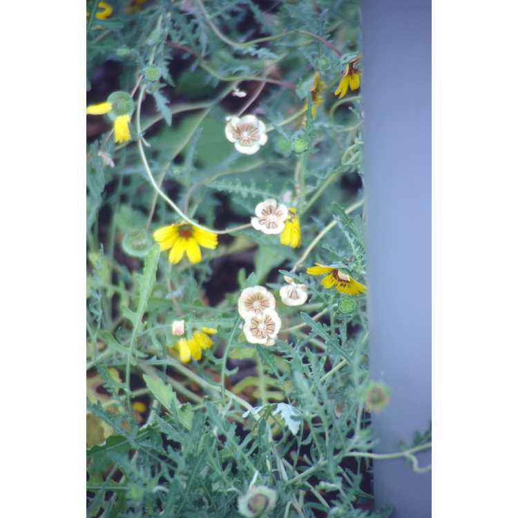 Berlandiera lyrata - lyreleaf chocolate daisy
