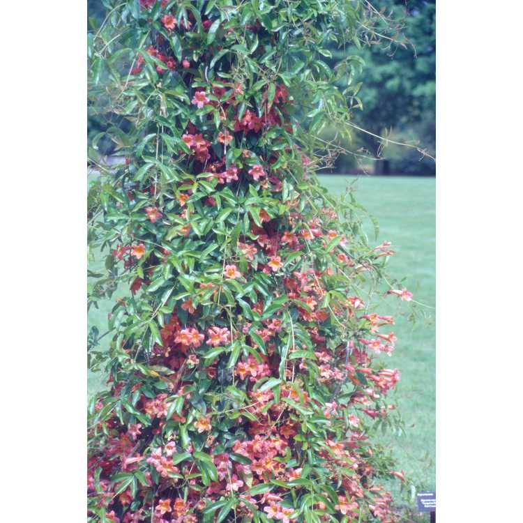 Bignonia capreolata 'Tangerine Beauty' - crossvine