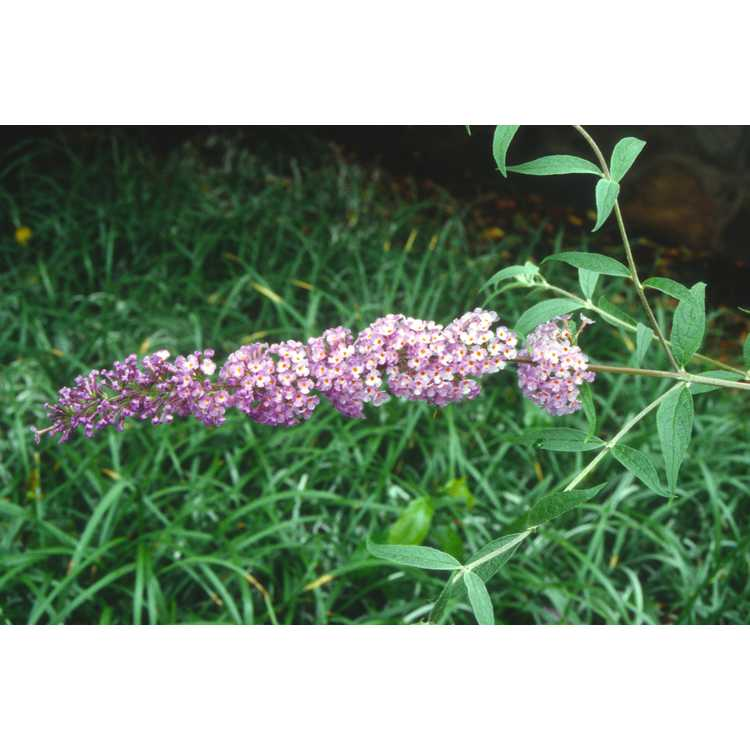 Buddleja davidii 'Nanho Blue' - butterfly-bush