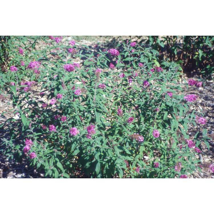 Buddleja davidii 'Nanho Purple' - butterfly-bush