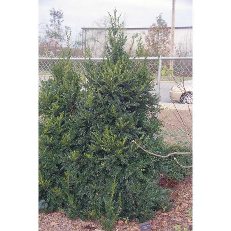 Buxus 'Himalayensis'