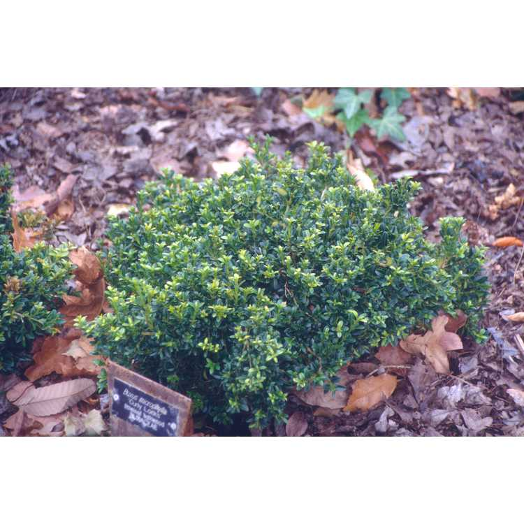 Buxus microphylla 'Curly Locks'