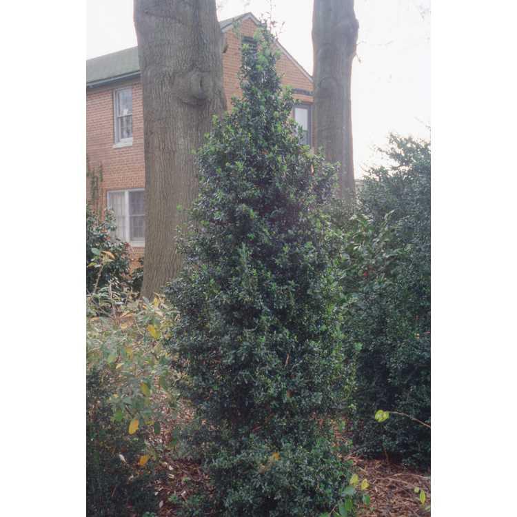 Buxus sempervirens 'Fastigiata' - common boxwood