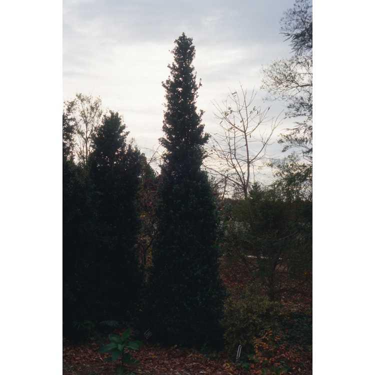 Buxus sempervirens 'Pyramidalis'