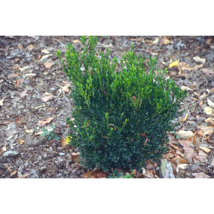Buxus sinica var. insularis 'Justin Brouwers'