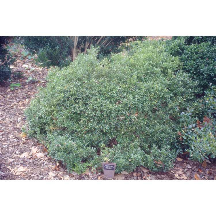 Buxus sinica var. insularis 'Wintergreen' - Korean boxwood