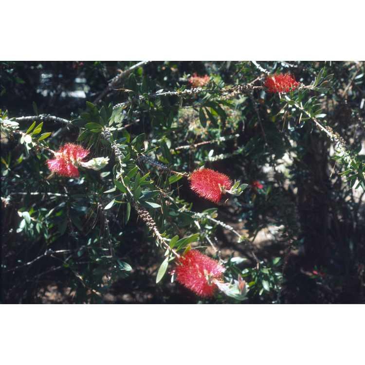 Callistemon citrinus - lemon bottlebrush