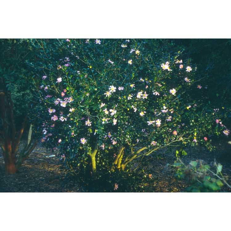 Camellia sasanqua 'Cleopatra' - sasanqua camellia