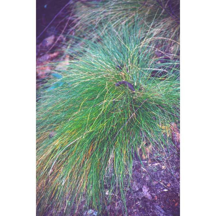 Carex eburnea - bristle-leaf sedge