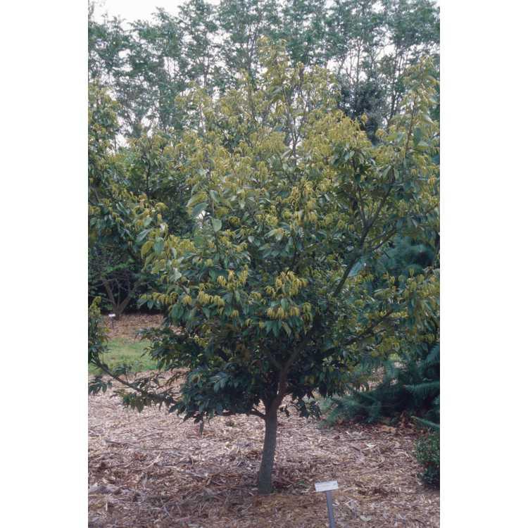 Castanopsis cuspidata - Japanese chinquapin