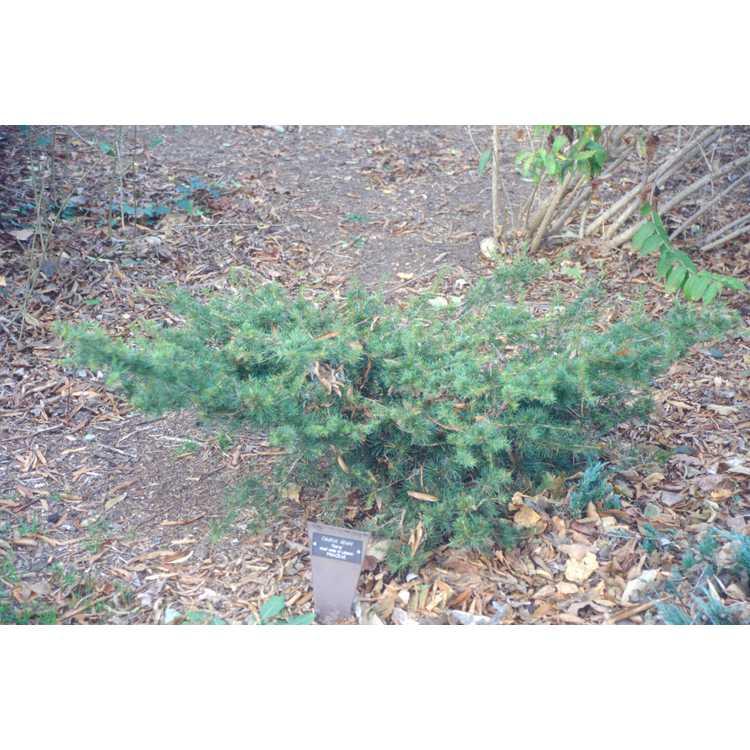 Cedrus libani Nana Group - dwarf cedar-of-Lebanon