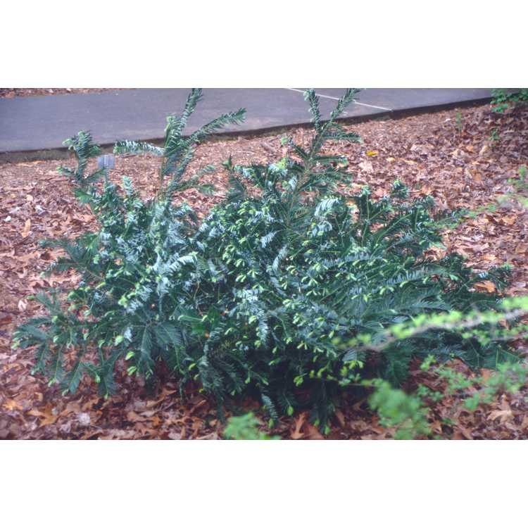 Cephalotaxus harringtonia var. koreana - Korean plum-yew