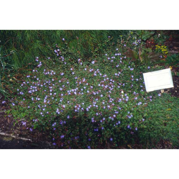 Ceratostigma griffithii - Griffith's blue leadwort