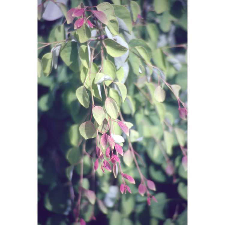 Cercidiphyllum japonicum f. pendulum - weeping katsura