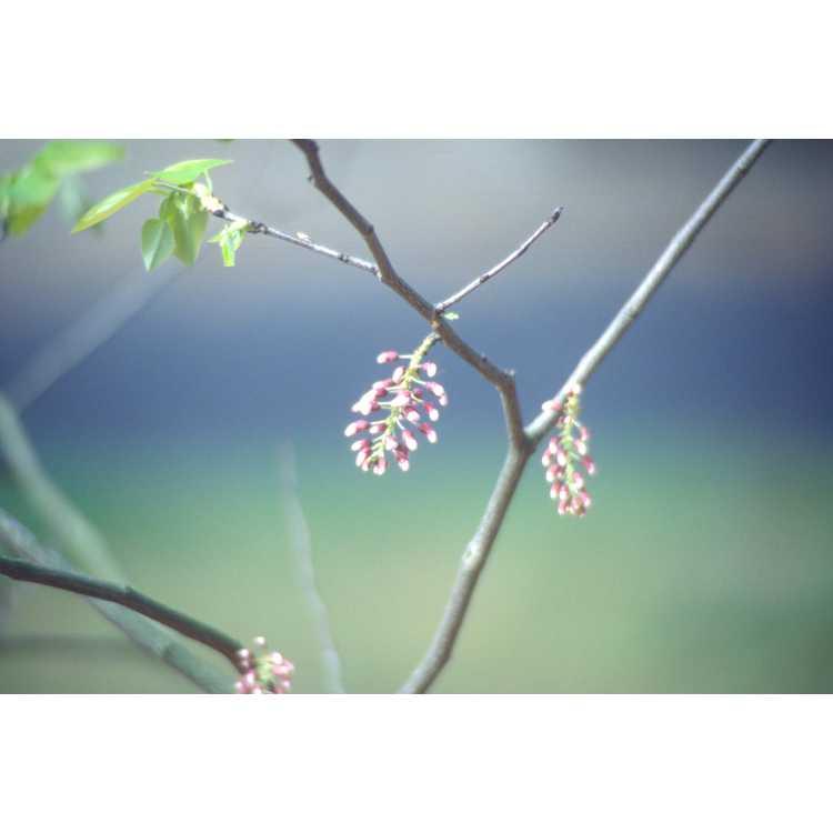 Cercis racemosa