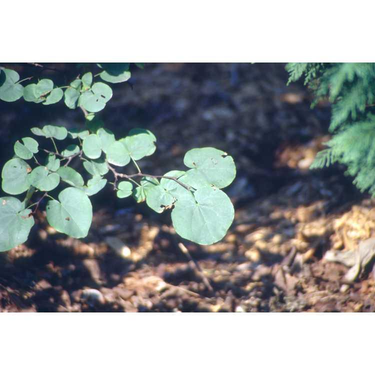 Cercis siliquastrum - Judas tree