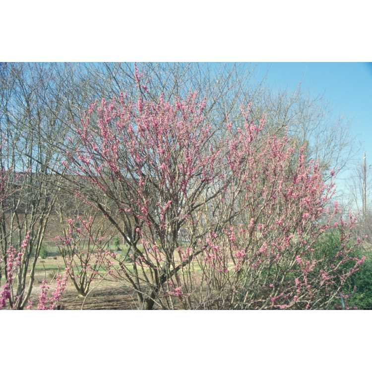 Cercis glabra - smooth redbud