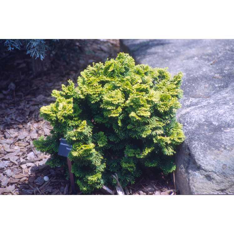Chamaecyparis obtusa 'Verdon'