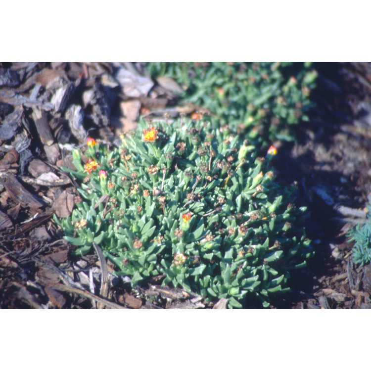 Chasmatophyllum musculinum