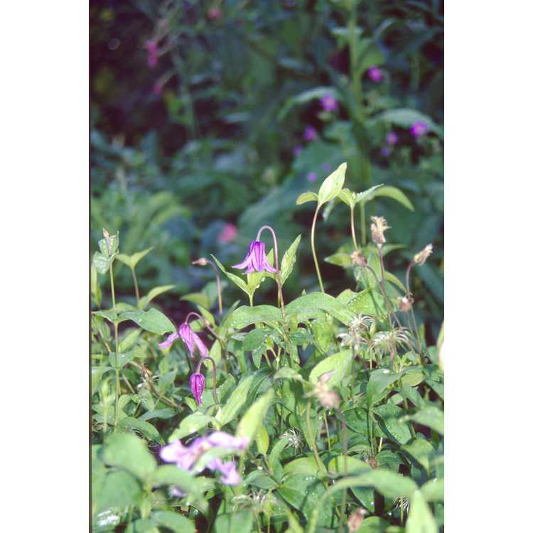 Clematis integrifolia - solitary clematis