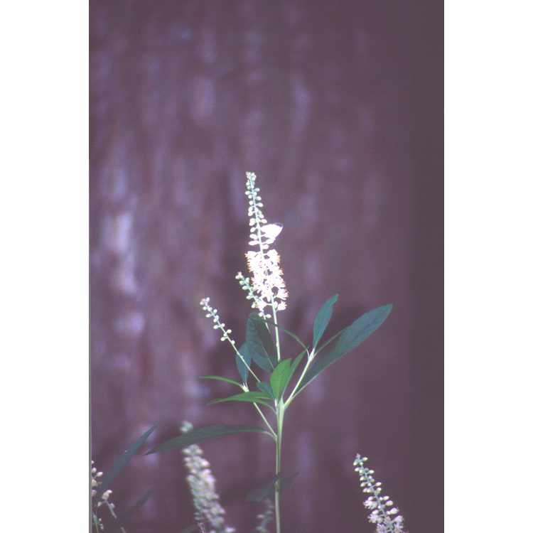 Clethra fargesii - Oriental clethra