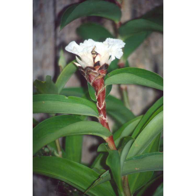 Costus speciosus - canereed