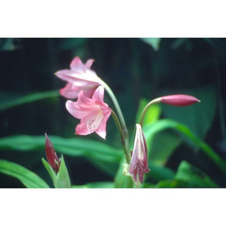 Crinum 'Ellen Bosanquet' - crinum-lily