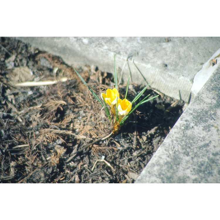 Crocus - spring crocus