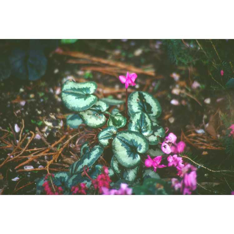 Cyclamen coum - baby cyclamen