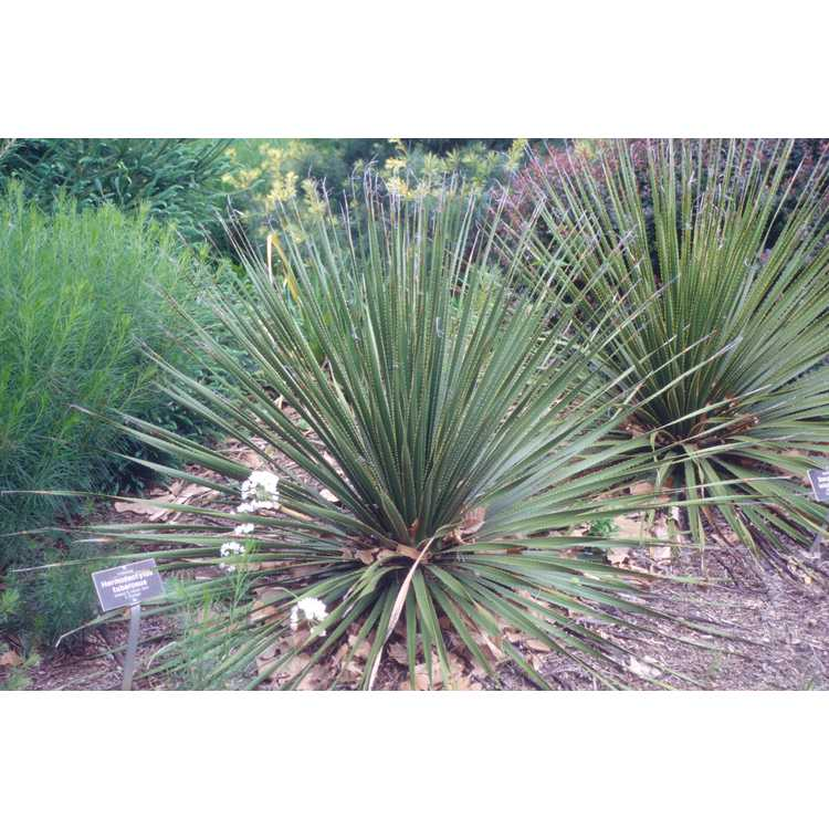 Dasylirion leiophyllum - green sotol