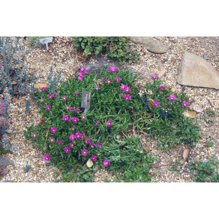 Delosperma cooperi - hardy ice-plant