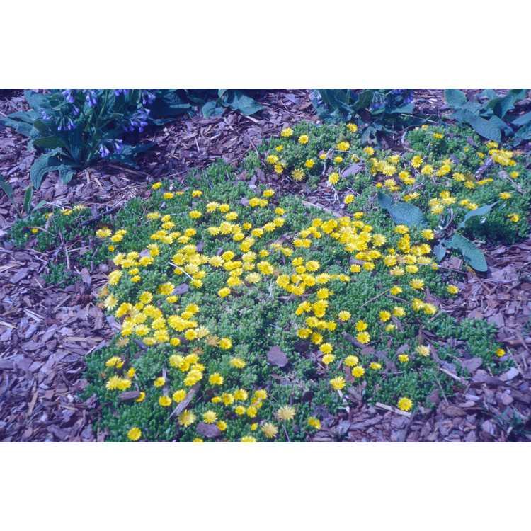 Delosperma nubigenum - yellow hardy ice-plant