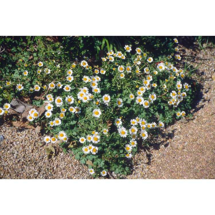 Chrysanthemum weyrichii - carpet mum
