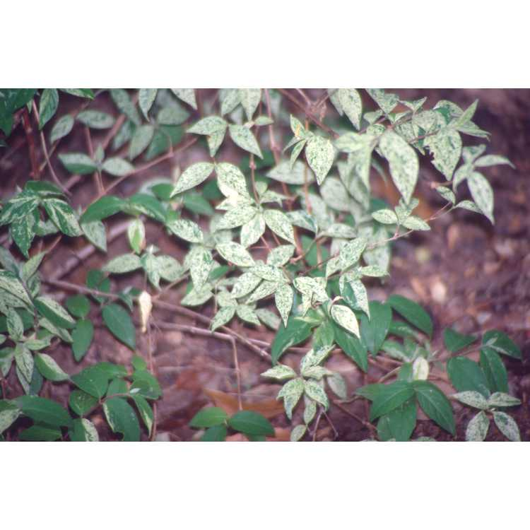Deutzia gracilis 'Variegata'