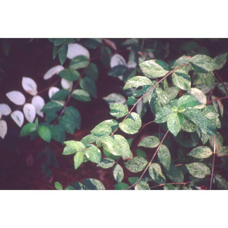 Deutzia scabra 'White Splash' - variegated rough deutzia