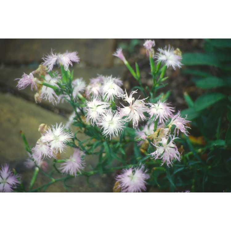 Dianthus superbus