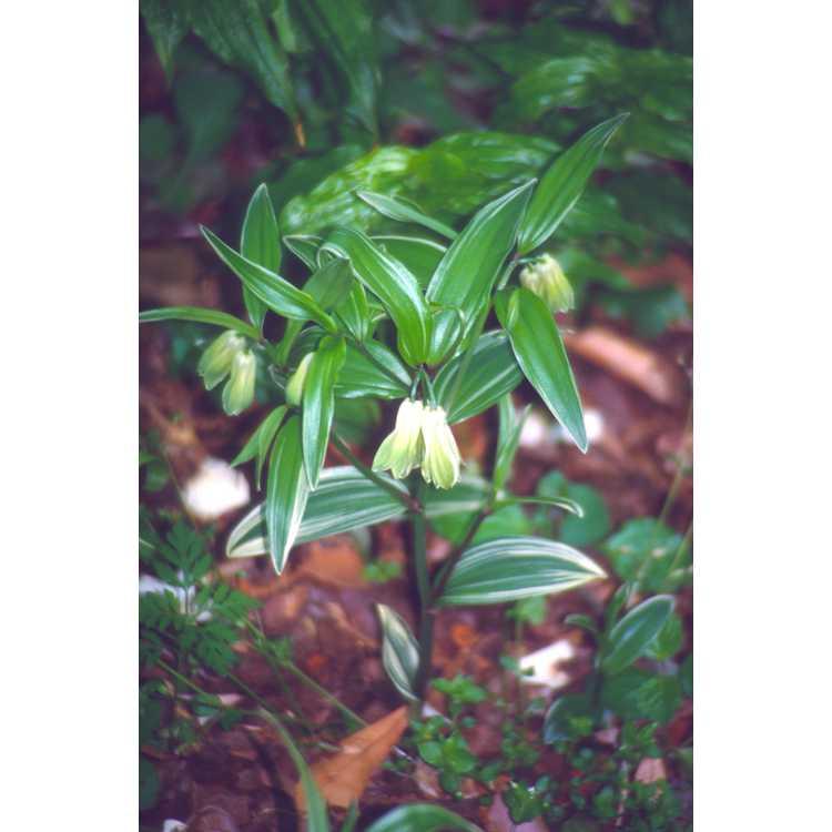 Disporum sessile 'Variegatum' - variegated fairy bells