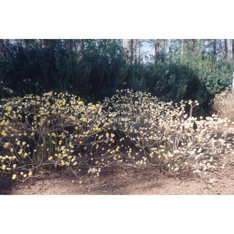 Edgeworthia chrysantha - golden paperbush