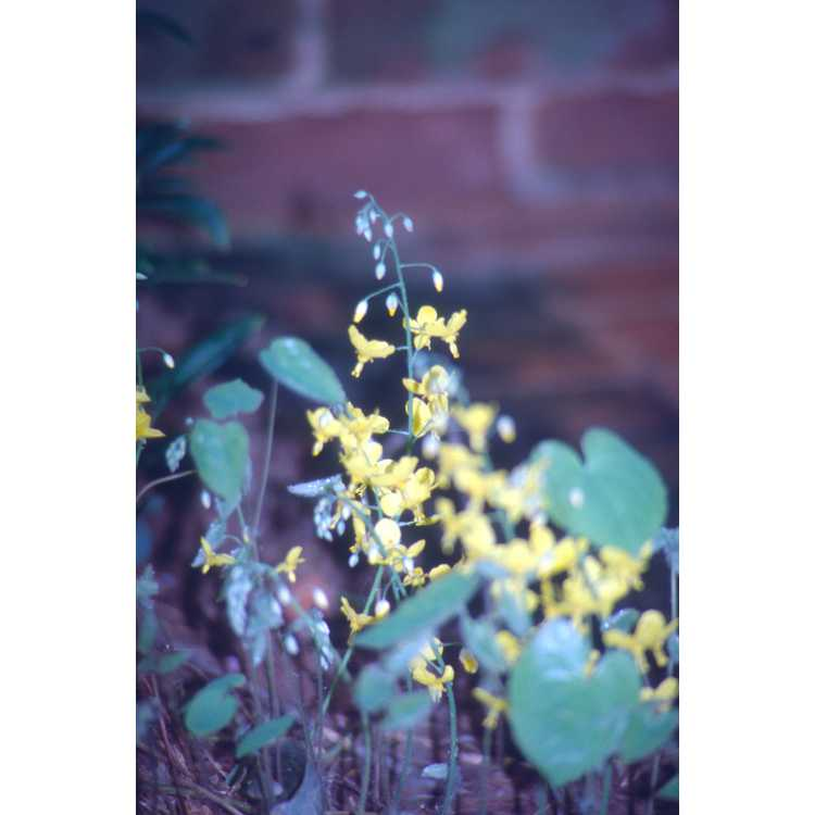 Epimedium ×perralchicum 'Frohnleiten'