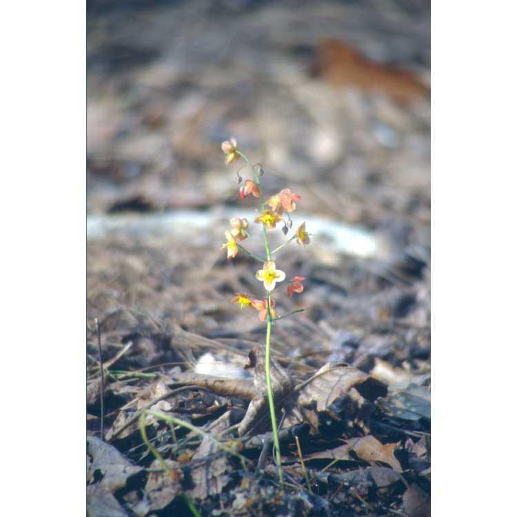 Epimedium ×warleyense